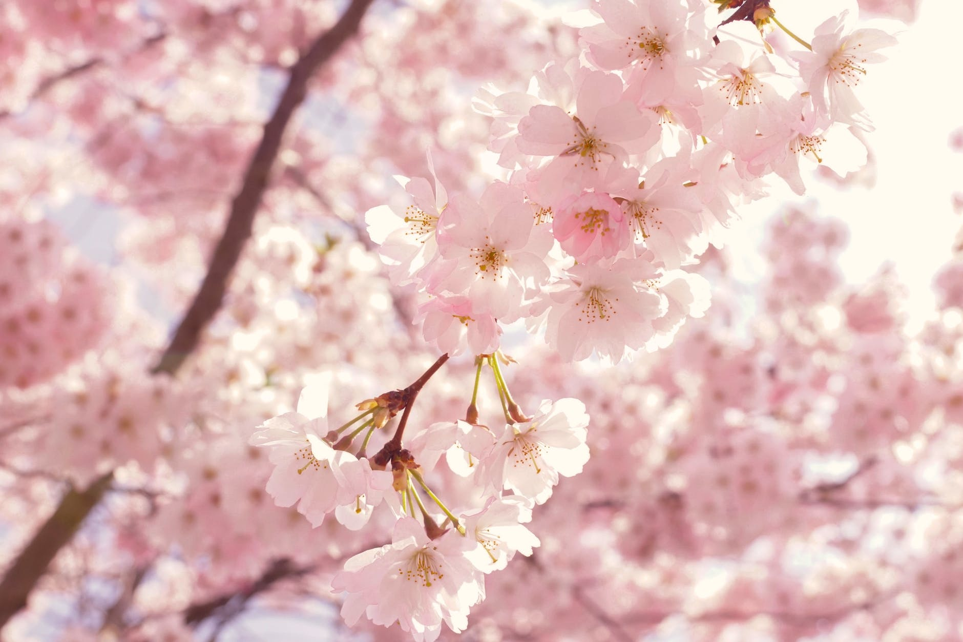 selective focus photography of pink cherry blossom flowers