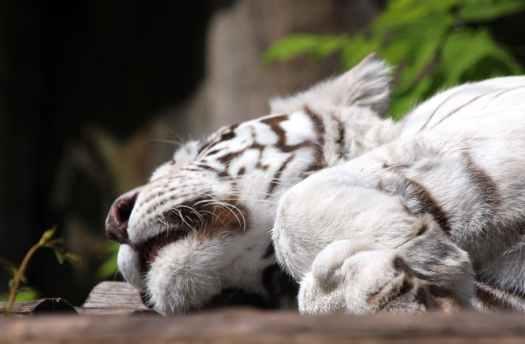 albino tiger lying on brown floor