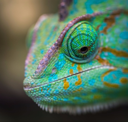 selective focus photography of chameleon